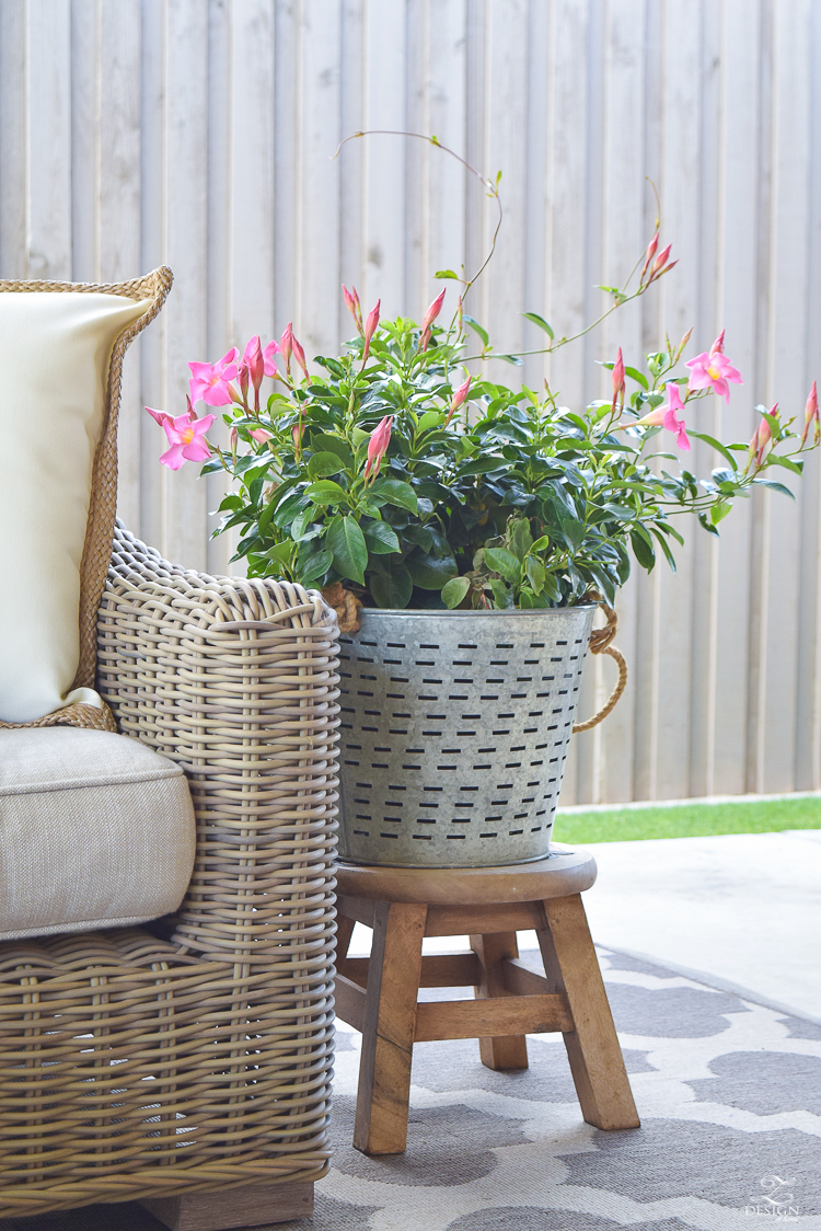 bougainvillea plant olive bucket