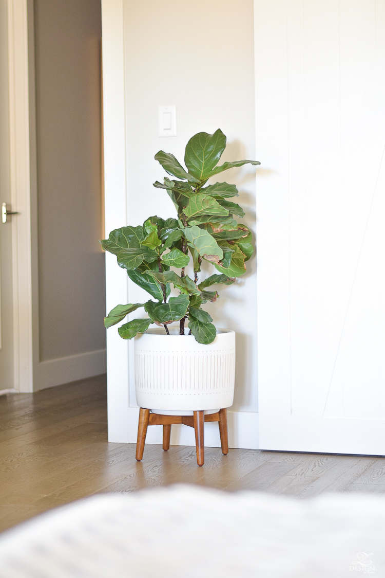 fiddle leaf fig in west elm mid-century flower pot-1
