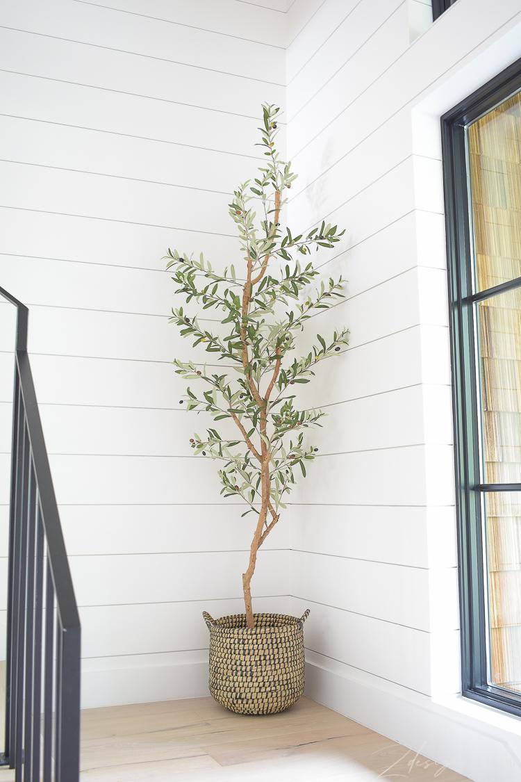 tall slender olive tree