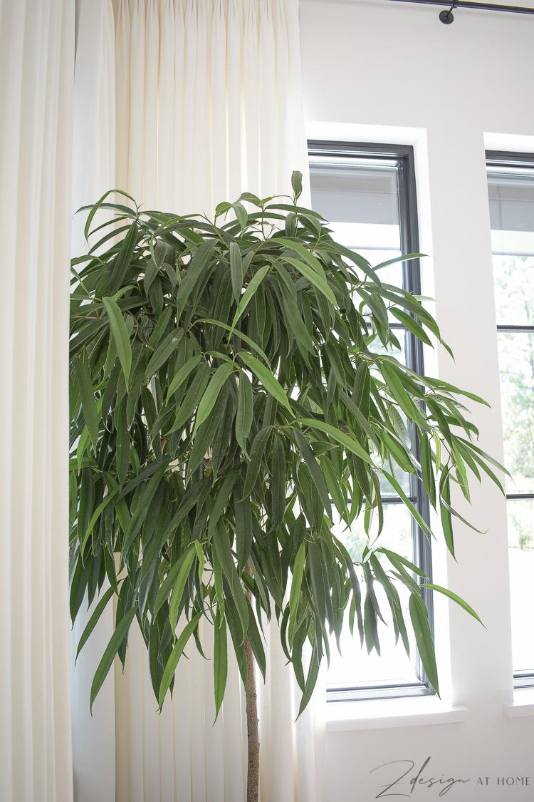 ficus alibi tree - image off leaves